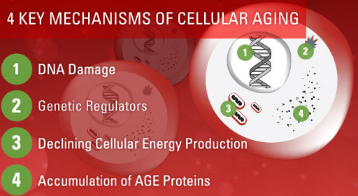 4 Key Mechanisms of Cellular Aging